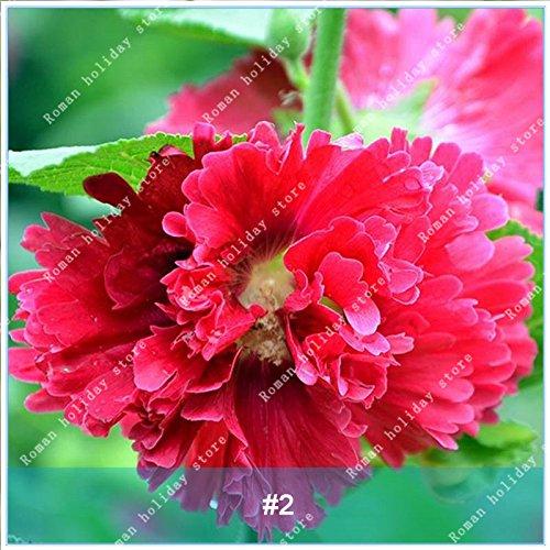 ZLKING 100 Pcs rares rouge rose fleur d'hibiscus Bonsai graines naturelles à croissance rapide Plantes à fleurs exotiques Pot 2 stand