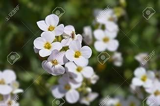 HOT - Rock CRESS White - Arabis Caucasica - 1000 Seeds Rockery Perennial Flower