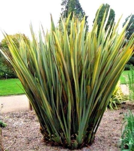 Nouvelle-Zélande Lin - Phormium variegatum ~ graminée ~ 10 graines