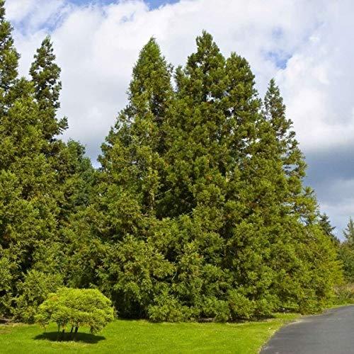 Japanese Cedar (Cryptomeria Japonica) 30 Seeds