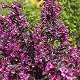 Weigelie florida 'Victoria' Zierstrauch mit wunderschöner Blütenpracht 60-80cm