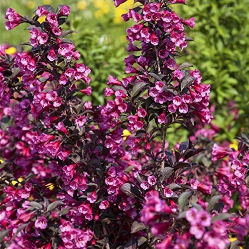 Weigelie florida \'Victoria\' Zierstrauch mit wunderschöner Blütenpracht 60-80cm