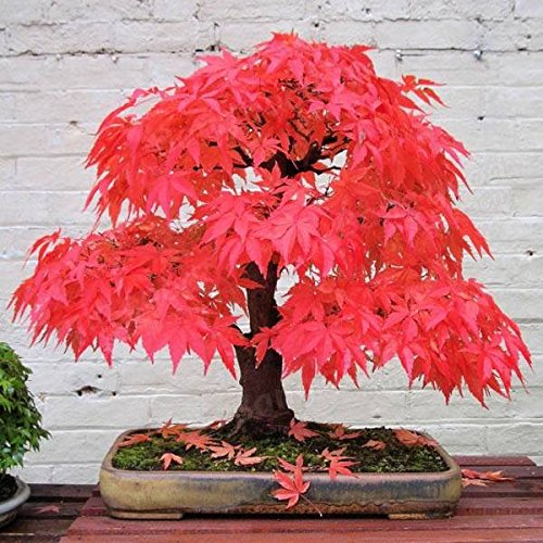 YYXIANG 100% True Japanese Red Maple Tree Seeds Garden Bonsai Beautiful Indoor Potting Plant 30 Seeds Pack Bonsai…