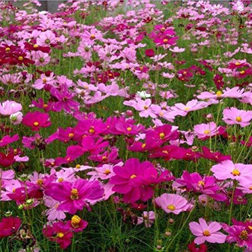 Ornamentales Semillas,Flor Semilla Cosmos Gerbera Combinación de Flores Silvestres 0.5kg-Margarita,Semillas de Plantas Verdes