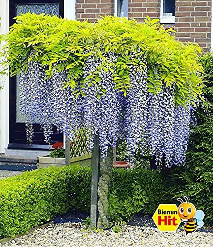 BALDUR-Garten Blauregen auf Stamm winterhartes Stämmchen, 1 Pflanze Wisteria sinensis Glycinie Zierstämmchen - 2
