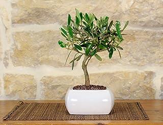 Olive Bonsai en un jarrón cuadrado blanco cm. 15
