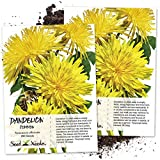 Seed Needs, Dandelion Herb (Taraxacum officinale) Twin Pack of 250 Seeds Each NON-GMO & Untreated