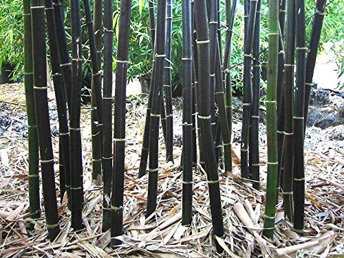 Rare frais bambou noir Graines Phyllostachys Nigra 100+ graines Expédié Etats-Unis