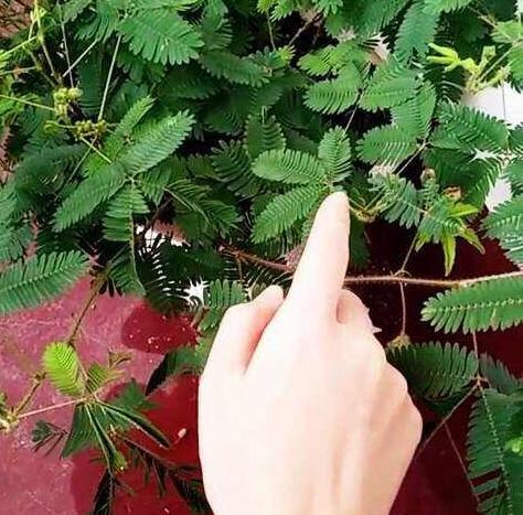 Les ventes chaudes! 100pcs Graines Mimosa Pudica Linn, feuillage Mimosa Pudica sensible Bonsai plante jardin Livraison gratuite