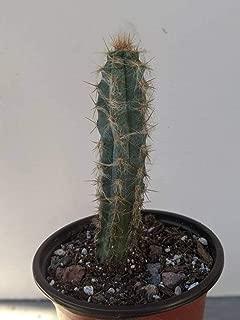 1 Live Plant Pilosocereus pachycladus Blue Column Cactus Rooted Live Plant 5