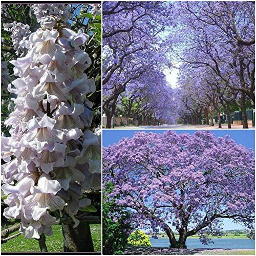 Paulownia tomentosa Blauglockenbaum im Topf. Enormer Wuchs Frosthart mit betörend duftenden Blüten