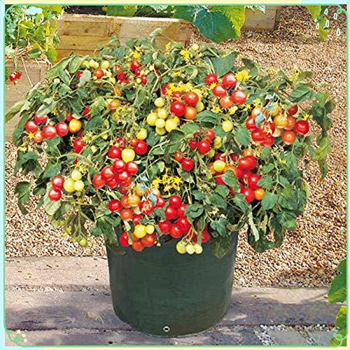 zellajake Fruit Plant Seeds 200+ Tomato Seeds - Tumbler