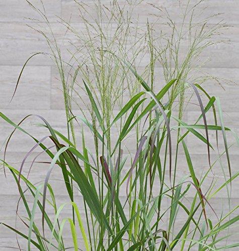 Rutenhirse Squaw - Panicum virgatum