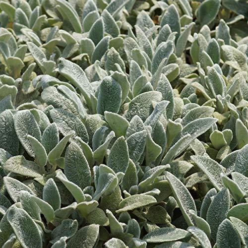 Blumixx Stauden Stachys byzantina 'Silver Carpet - Teppich-Wollziest, im 0,5 Liter Topf, hellviolett blühend