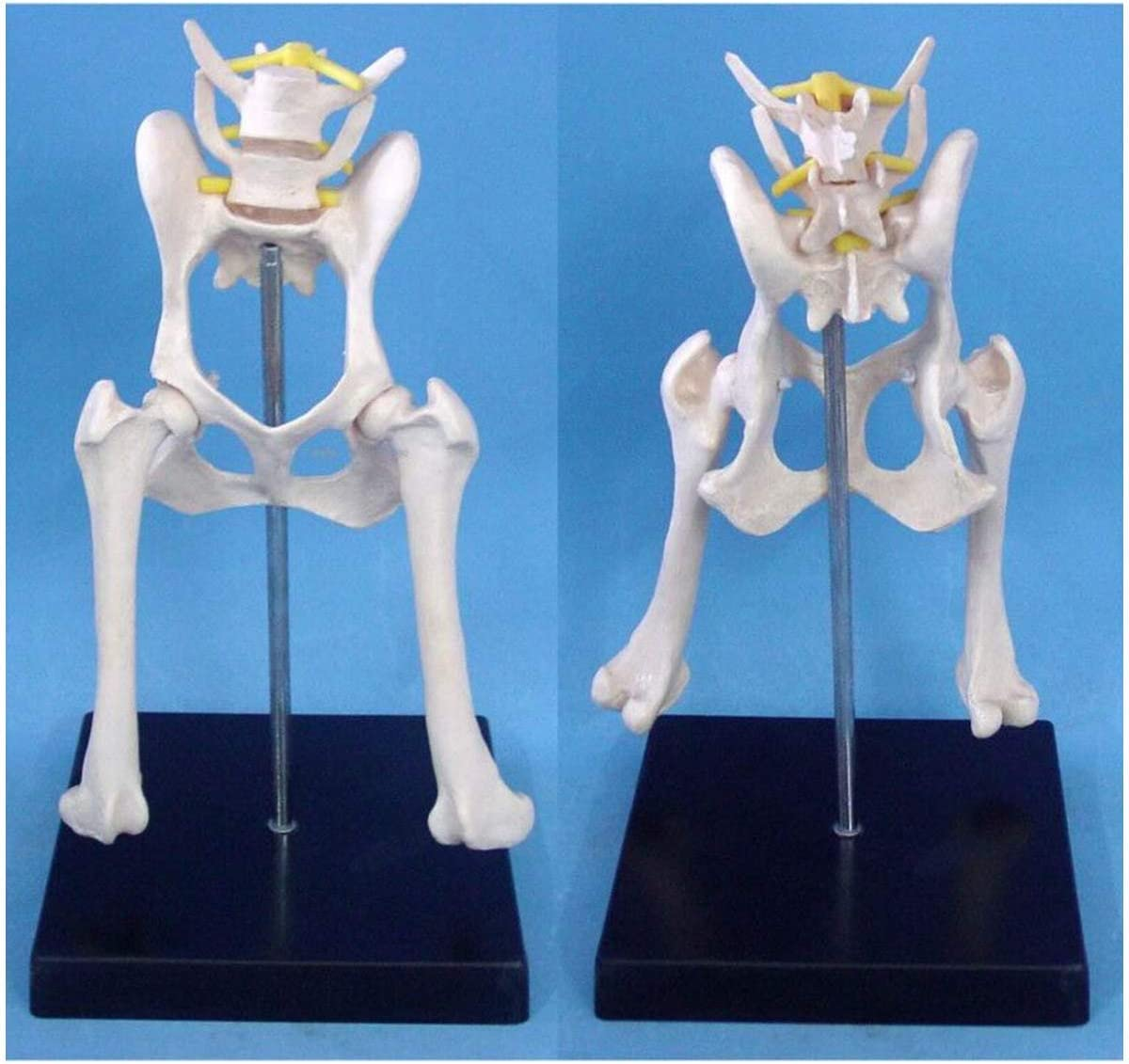 XYSQWZ Dog Max Max 56% OFF 60% OFF Hip Joint Model Skeleton Anatomical Medical Canine Bo