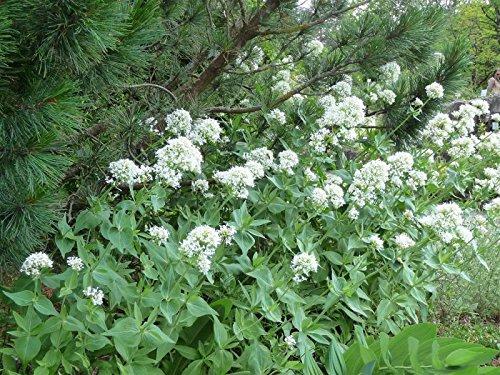 Weiße Spornblume Centranthus ruber 'Albus' 50 Samen