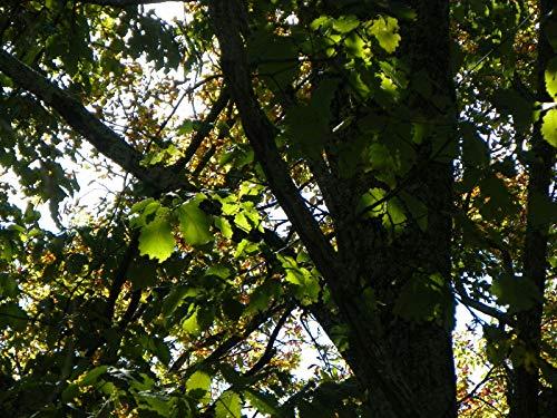 SANHOC 12 Swamp Kastanie Eiche Eicheln Samen Landschaft Bonsai Schatten Quercus michauxxi