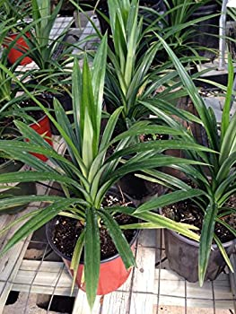 1 Live edible pandan leaves plant - la dua - 11 To 17 Inches tall -m169