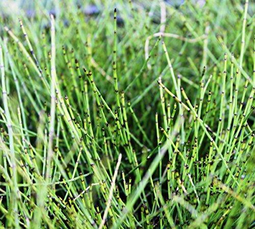 fertig im Pflanzkorb - Equisetum scirpoides - winterhart - Zwergschachtelhalm - Grönlandschachtelhalm - Zinnkraut - Binsenschachtelhalm - Wasserpflanzen Wolff