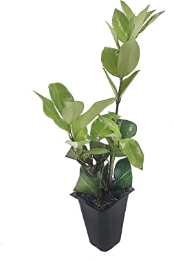 Ligustrum Waxleaf Privet - 60 Live Plants - Evergreen Privacy Hedge Shrub