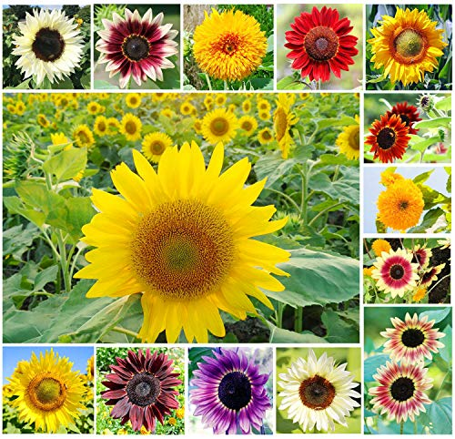 100+ Mix Color Sunflower Seeds for Planting Outdoors (Helianthus annuus) Home Garden Decor