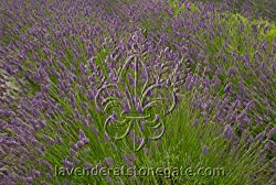 Buy Hidcote Giant Lavender Plants