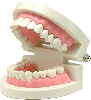 歯列模型 歯形模型 歯磨き指導模型 学習用小型モデル
