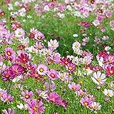 Maceta para Plantas de jardín/Interiores,Semillas de Flores Balcones,Mar de Flor de semilla de combinación de Flores Silvestres, Cuatro Estaciones transmiten Flores prudentes-Cosmos_50g