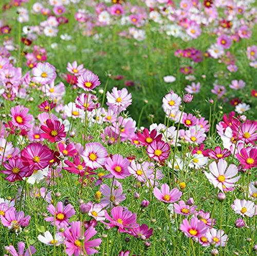 Semillas de Flores Paisaje para,Flores Semillas Planta Bonsai,Mar de Flor de semilla de combinación de Flores Silvestres, Cuatro Estaciones transmiten Flores prudentes-Cosmos_100g