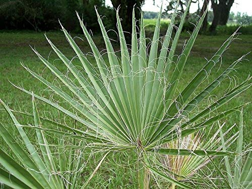 Washingtonia filifera California Fan Palme, 10 Samen