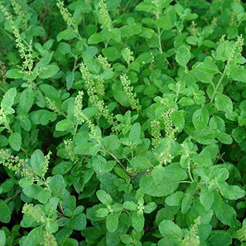 Holy Kaprao Basil Seeds; Rama Tulsi Basil (Ocimum Sanctum) 50+ Rare Medicinal Herb Seeds