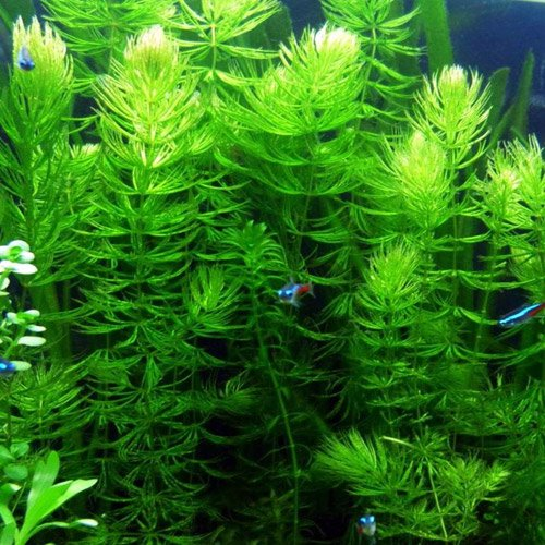 Pond Oxygenating Hornwort Bunch Plants