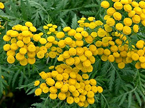 Rainfarn - Tanacetum vulgare - Wurmkraut - 500 Samen