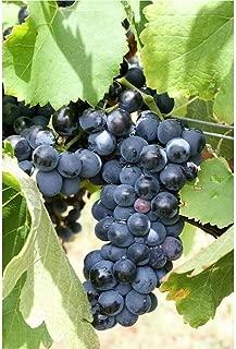 10 Purple Concord Grape Fruit Vine Vitis Labrysca White Flower Seeds #DS01