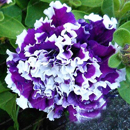 ChinaMarket bleu Petunia Graines Bonsai Graines de fleurs Court Taille Jardin Fleurs Graines d'intérieur ou Ourdoor Accueil Jardin Bonsai 100 Pcs