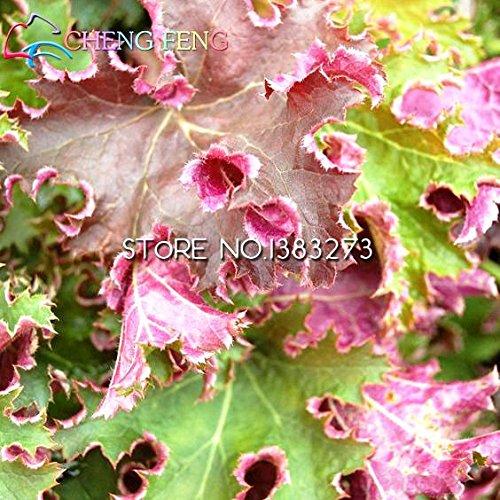 Limite de temps !!! nouvelle Arrial arc-en-Heuchera fraîches Graines Intéressant Semence Flora Semillas Bee cadeau