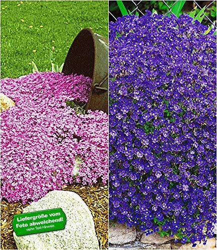 BALDUR Garten Bodendecker Polsterstauden-Kollektion rosa & blau 3 Pflanzen Blaukissen Aubretia und 3 Pflanzen Phlox Polsterphlox Teppichphlox Moosphlox 3 Pflanzen Phlox subulata