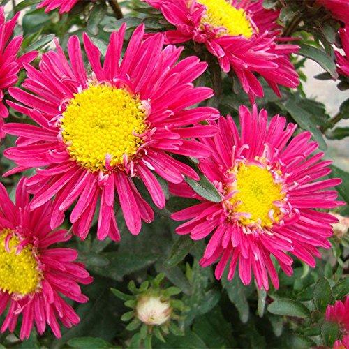 50PCS lily Fleur Graines Plantes parfum pot nénuphar Graines Purifier intérieur mélanger les couleurs Bonsai