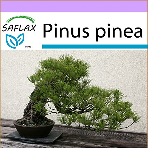 SAFLAX - Bonsai - Mittelmeer-Pinie - 6 Samen - Pinus pinea