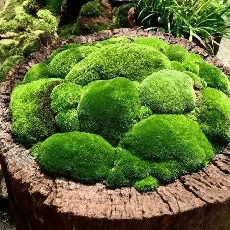 100 STÜCKE Moos Samen, Bonsai Grassamen Hausgarten Blumen Mehrjährige Zierpflanze für Balkon Garten