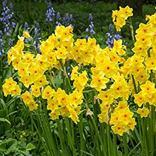 Fiori Gialli Perenni.Amazon It Bulbi Piante Semi E Bulbi Giardino E Giardinaggio