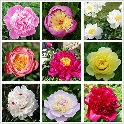 Peony Mix(25+)Seeds Flowers Easy to Grow Planting for Outdoor Indoor Home Bonsai