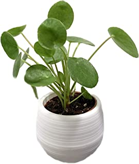 Chinese Money Plant - Pilea peperomioides in 3