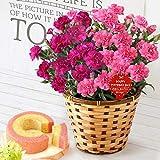 母の日 の プレゼント カーネーション 鉢花 ギフト 花鉢 花とスイーツお菓子セット (2色植え ピンク&マリオン)