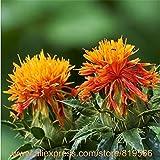 Cartamo semi cinesi tradizionali di erbe della salute Fiore Rosso Piante Medicina Carthamus tinctorius Sementes