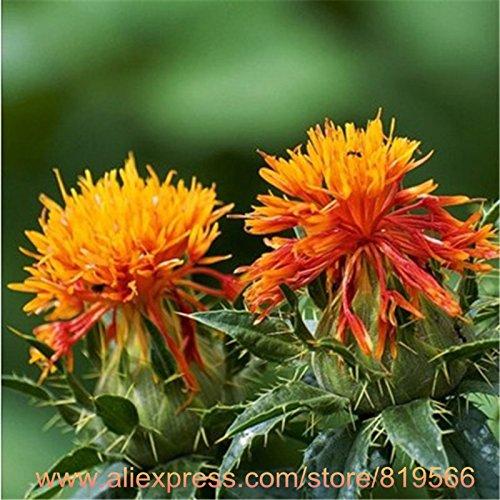 Carthame chinois Graines Plantes traditionnelle Santé Herbal Fleur Rouge Médecine Carthamus tinctorius Sementes