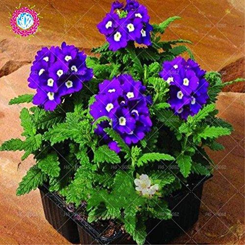 graines 100pcs Verveine seeds.Verbena HORTENSIS, graines de bonsaï rares fleurs Hanging plantes balcon intérieur fleurs pour le jardin de la maison 12