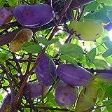 アケビの苗木 品種:紫アケビ【品種で選べる果樹苗木 2年生 挿木苗 12cmポット 平均樹高:30cm/1個】(ポット植えなのでほぼ年中植付け可能)鮮やかな紫色の果実が珍しい甘い品種です! アケビは果実としても山菜としても楽しめます! 実以外にも果皮や蔓 葉 若芽 根などに薬草としての効能があると健康食品として注目されています! 実に酸味は無くバナナや熟した柿に似た素朴な甘さです。 果皮は独得の苦味があり 炒めものや天ぷらにして食べると美味です。 蔓性の落葉果樹ですので フェンスや木に這わせたり 壁面仕立てにしたりと多彩な用途があります。 1種類でも結実しますが 他品種を近くに植えてると収穫量が増えます。 完熟したアケビは日持ちしませんので 市場ではなかなか流通していません。 家庭菜園ならではの醍醐味を味わってください!【自社農場から新鮮苗直送 】