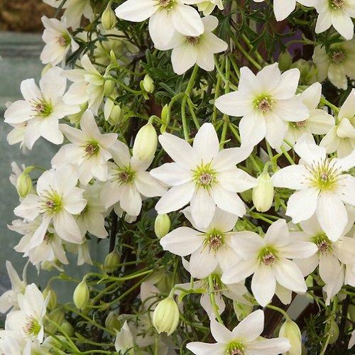 2 x Clematis Early Sensation | 2-er set Immergrüne Kletterpflanzen - Mehrjährig und Winterhart) | Weiß - 2 x 1,5 Liter Topfen