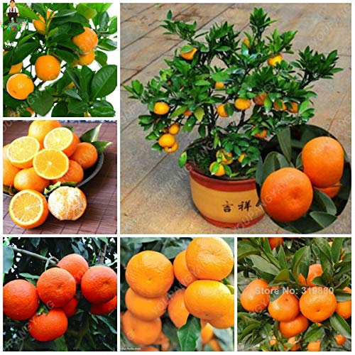 YOUPANGPANG 20 STKS Bonsai Oranje Potted Eetbare Mandarijn Citrus Fruit Dwerg Oranje Boom Indoor Plant voor Thuis Tuinplanten